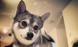 Tips on finding an Alaskan Klee Kai for sale