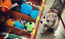 Learn about the costs of an Alaskan Klee Kai