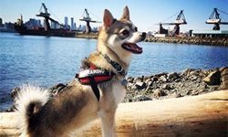 A review of the Julius K9 dog harness