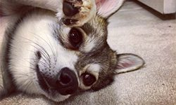 Things you should know about an Alaskan Klee Kai