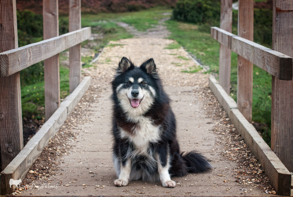 Things to Keep in Mind About the Pomsky - Alaskan Klee Kai ...
