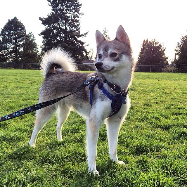 Pros and Cons of the Alaskan Klee Kai  Alaskan Klee Kai 101  Breed Information Guide
