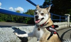 Pros and cons of the Alaskan Klee Kai