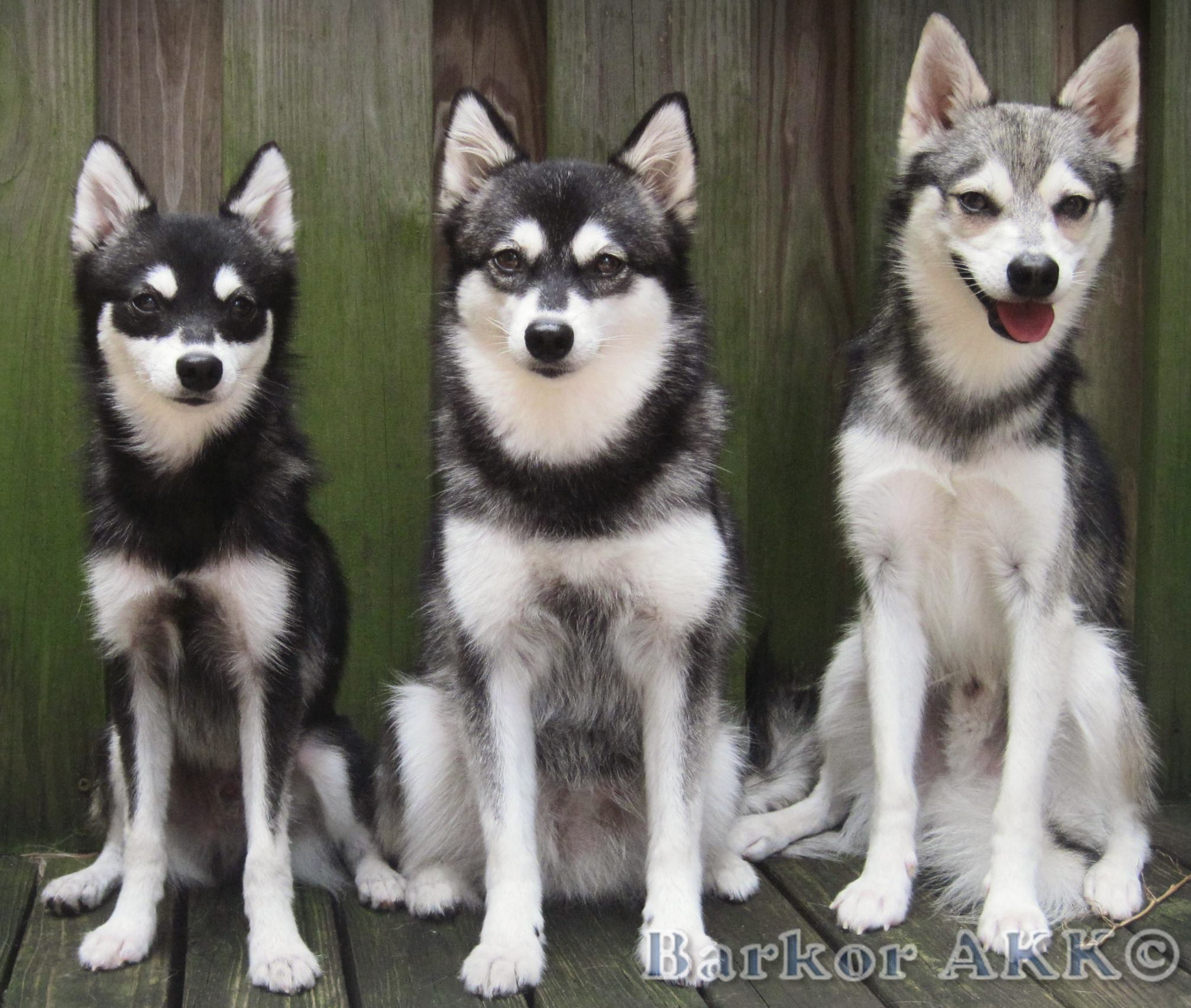Things to keep in mind if you are looking for a toy alaskan klee kai alaskankleekaisize geenschuldenfo Images