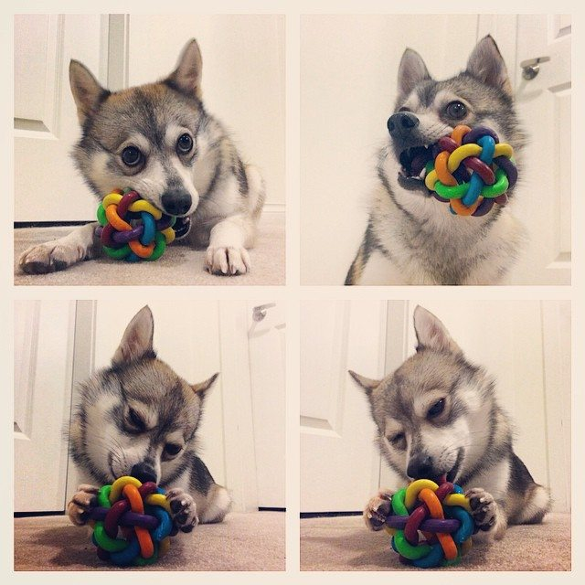 Can't blame a dog for loving his toy