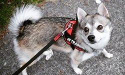 Importance of socializing your Alaskan Klee Kai