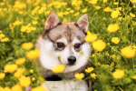 Things to consider if you're looking for a toy Alaskan Klee Kai