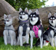 Meet the Alaskan Klee Kai pack!