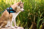 5 things to consider before bringing home an alaskan klee kai