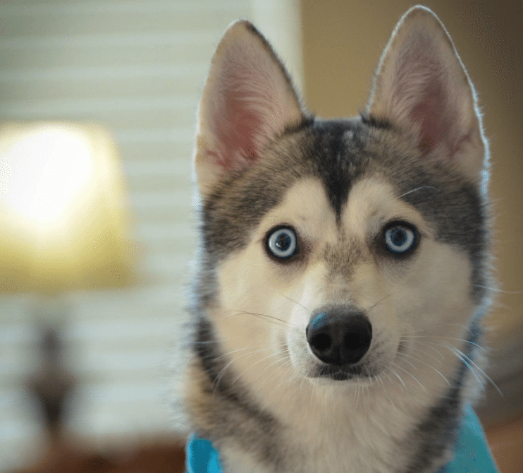 Meet Ace the Alaskan Klee Kai!