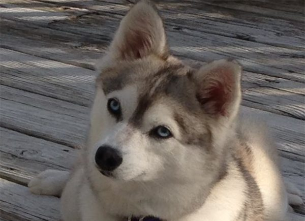 Meet Ahvie the Alaskan Klee Kai!