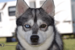Meet Anubis the Alaskan Klee Kai!