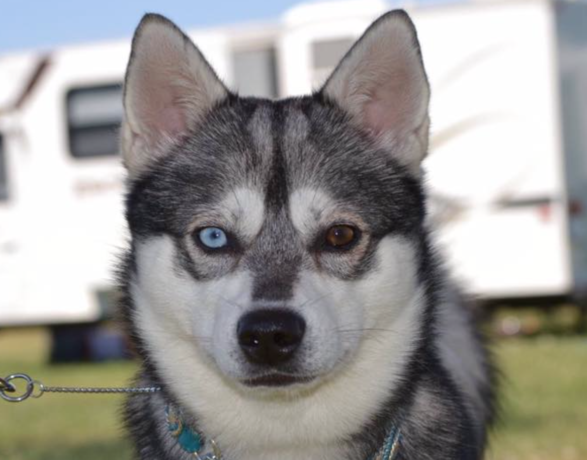 Dog Breed Klee Kai