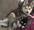 Meet Ava and Luna the Alaskan Klee Kai!