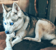Meet Dakota the Alaskan Klee Kai!