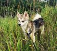 Meet Finn the Alaskan Klee Kai!