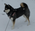 Meet Kali K the Alaskan Klee Kai!