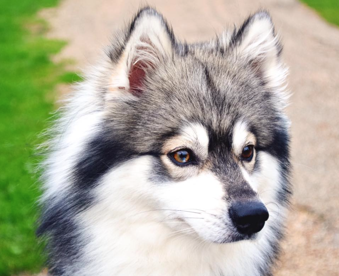 Meet Kobe the Alaskan Klee Kai!