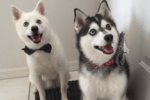 Meet Loki and Thor the Alaskan Klee Kai!