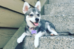 Meet Mia the Alaskan Klee Kai