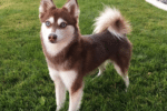 Meet Mia the Alaskan Klee Kai!