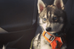 Meet Milo the Alaskan Klee Kai!