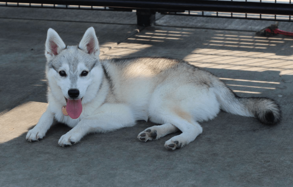 Meet Mokomint Chip the Alaskan Klee Kai!