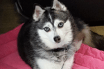 Meet Nakina the Alaskan Klee Kai!