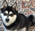 Meet Niki the Alaskan Klee Kai!