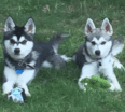 Meet Padfoot and Moony the Alaskan Klee Kai!