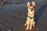 Meet Ronan the Alaskan Klee Kai!