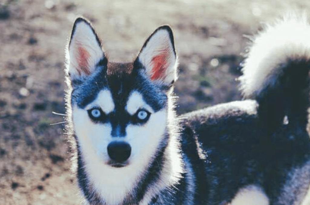 Meet Svala the Alaskan Klee Kai!