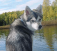 Meet Taku the Alaskan Klee Kai!