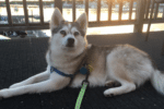 Meet Tikaa the Alaskan Klee Kai!