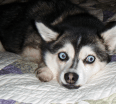 Meet Tika the Alaskan Klee Kai