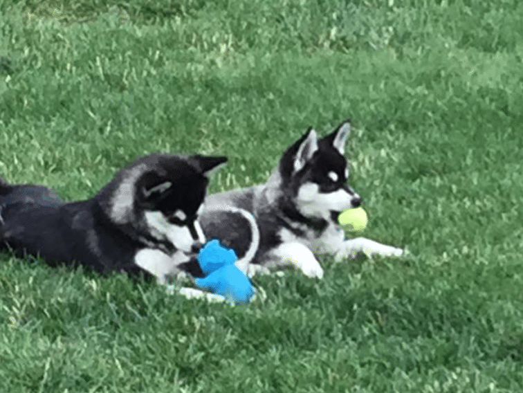 Meet Yukon and Kodah the Alaskan Klee Kai!