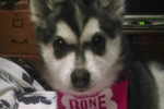 Meet Xena the Alaskan Klee Kai!
