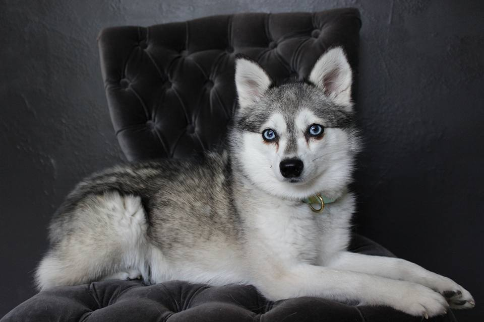 Meet Zephyr the Alaskan Klee Kai!