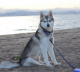 Meet Zero the Alaskan Klee Kai!