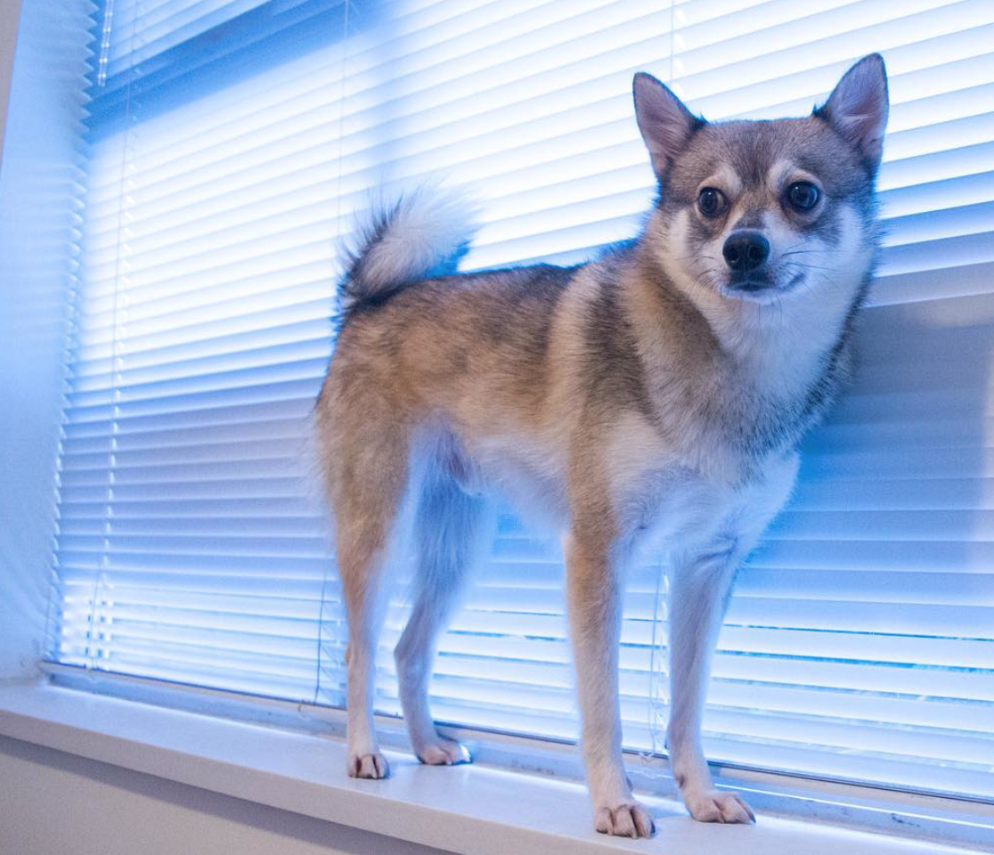 Alaskan Klee Kai like walking on high surfaces