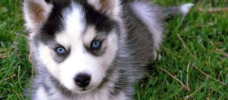 Famous Differences Between a Miniature Husky and an Alaskan Klee Kai  AC52