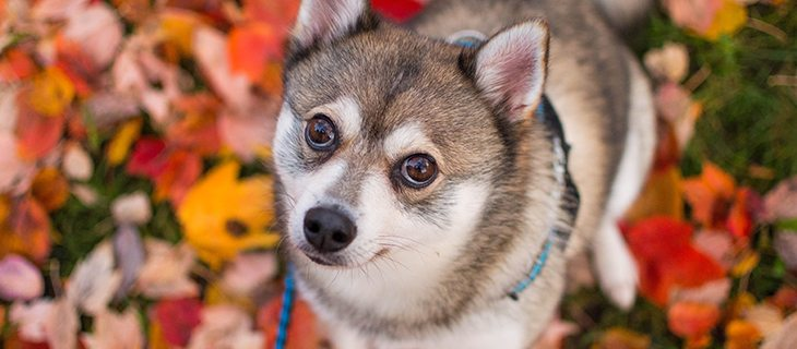 Learn about the known health concerns of the Alaskan Klee Kai